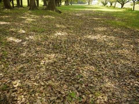 クスノキの落ち葉