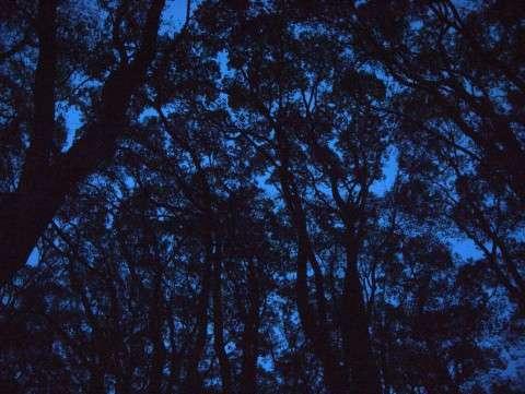 夜のクスノキ