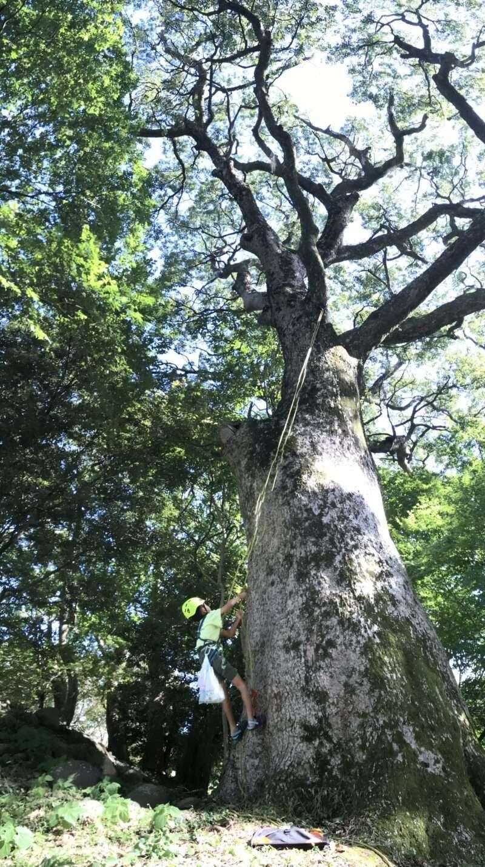 巨木ツリークライミング