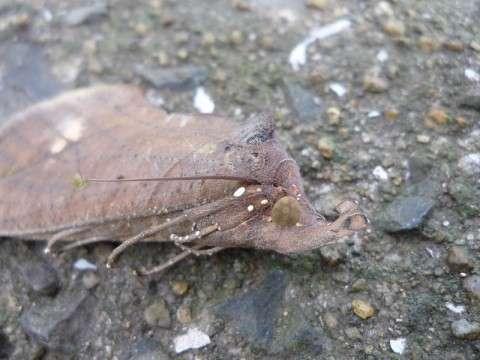 アケビコノハの目
